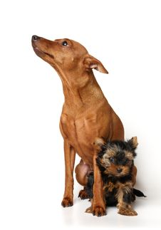 Free Red Miniature Pinscher And Yorkie Puppy Royalty Free Stock Photos - 18005768