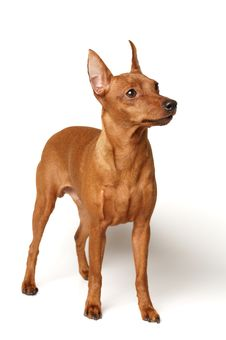 Free Red Miniature Pinscher Royalty Free Stock Images - 18005769