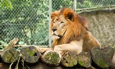 Free African Lion Stock Photo - 18005980