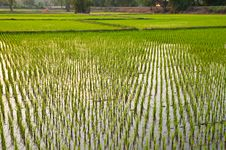 Free Rice Field,Thailand Royalty Free Stock Photography - 18006107