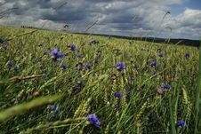 Free Rye Field With Cornflowers Stock Photos - 18006603
