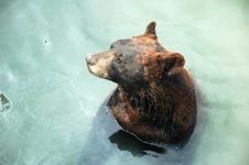 Free Brown Bear In Water Royalty Free Stock Photos - 18007398