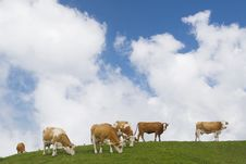 Free Cows Pasturing Royalty Free Stock Image - 18008406