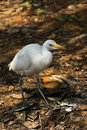 Free White Cattle Egret Bird On The Ground Royalty Free Stock Images - 18013209