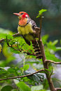 Free Colorful Barbet Bird Royalty Free Stock Image - 18013226