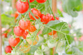 Free Tomatoes On The Vine Royalty Free Stock Images - 18014639
