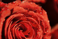Free Red Rose With Drops Stock Photos - 18016173
