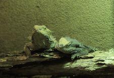 Free Central Bearded Dragon (Pogona Vitticeps) Royalty Free Stock Photography - 18010107