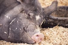Free Pig At Rest Royalty Free Stock Photos - 18010758