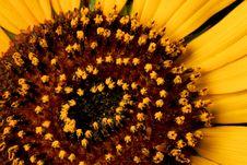 Free Wild Sunflower Stock Images - 18011534