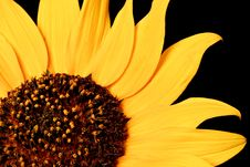 Free Wild Sunflower Royalty Free Stock Image - 18011536
