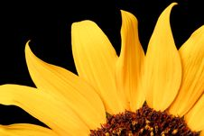 Free Wild Sunflower Royalty Free Stock Images - 18011539
