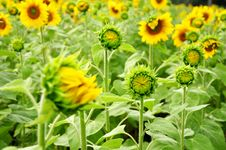 Free Field Of Young Sunflowers Royalty Free Stock Image - 18013026