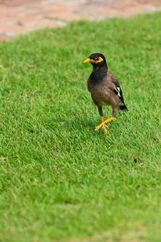 Free Common Myna Bird On The Grass Stock Images - 18013414