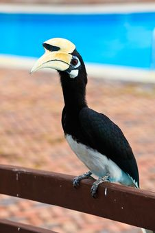 Palawan Hornbill Bird In Close Up Royalty Free Stock Photos