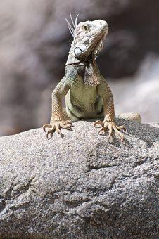 Free Iguana On The Rocks Royalty Free Stock Image - 18014106