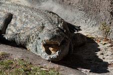 Free Crocodile Royalty Free Stock Image - 18014166