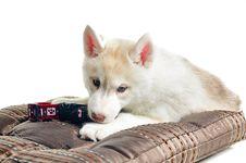 Free Puppy Royalty Free Stock Photo - 18014265