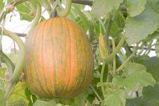 Free Pumpkin. Royalty Free Stock Photos - 18014308