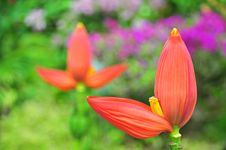Free Orange Color Banana Flowers Royalty Free Stock Images - 18014409