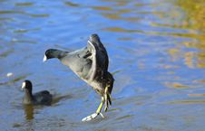 Free The American Coot Jumping In To A Pond Royalty Free Stock Photography - 18015507