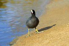 Free The American Coot Walking On A Shore Stock Image - 18015511