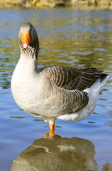 The Graylag Goose Standing On One Leg Near Pond Royalty Free Stock Images
