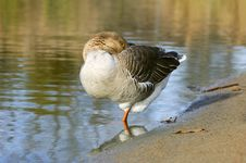 The Graylag Goose Standing On One Leg Near Pond Royalty Free Stock Photo