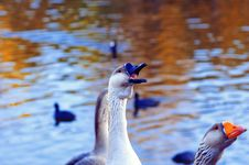 The Greylag Geese Asking For Food Stock Photo