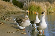 Free The Graylag Geese Standing Near Pond Royalty Free Stock Images - 18015689