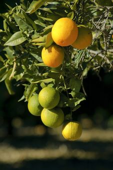 Free Ripe And Unripe Oranges Hanging On A Tree Royalty Free Stock Photography - 18015767