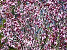 Free Pink Bush Stock Image - 18016821