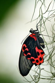 Free Scarlet Swallowtail Butterfly Stock Photos - 18017333