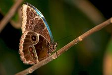 Free Blue Morpho Butterfly Stock Photography - 18017392