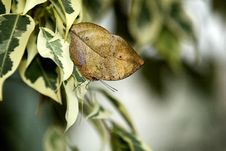 Free Indian Leaf Butterfly Stock Photography - 18017452
