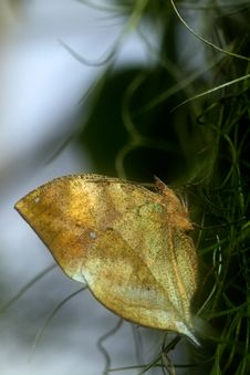 Free Indian Leaf Butterfly Stock Images - 18017464