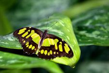 Free Malachite Butterfly Royalty Free Stock Photos - 18017498