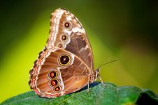 Free Blue Morpho Butterfly Royalty Free Stock Photo - 18017535