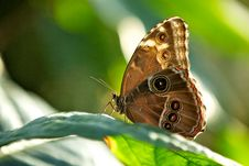 Free Blue Morpho Butterfly Stock Photo - 18017560