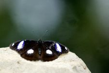Free Diadem Butterfly Royalty Free Stock Photo - 18017585