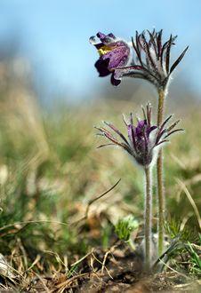 Pulsatilla Flowers Stock Photo