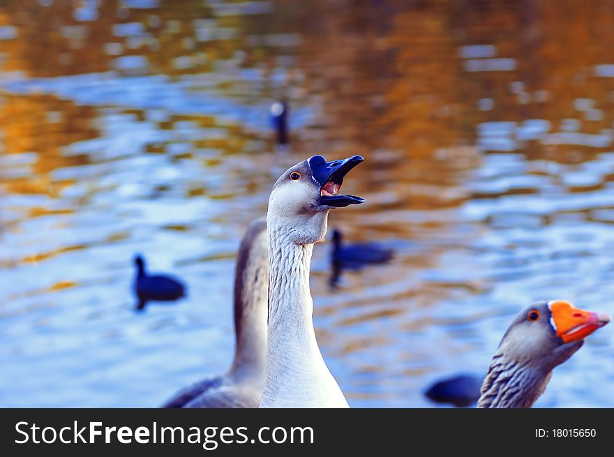 The Greylag geese asking for food
