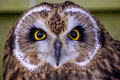 Free A Short Eared Owl Face Royalty Free Stock Image - 18022116
