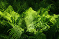 Free Ferns Illuminated By Sunlight Royalty Free Stock Photo - 18027545