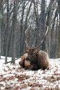 Free Bull Elk Royalty Free Stock Photography - 18029567