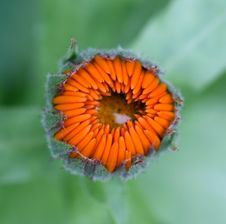 Free The Bud Of Pot Marigold With A Raindrop. Royalty Free Stock Photo - 18020615