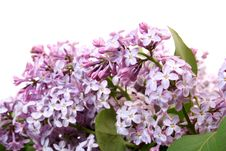 Branch Of A Lilac Royalty Free Stock Images