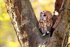 Free A Tawny Owl Stock Photos - 18021473