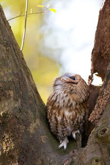 Free A Tawny Owl Royalty Free Stock Photos - 18021528