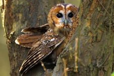 Free A Tawny Owl Stock Image - 18021561